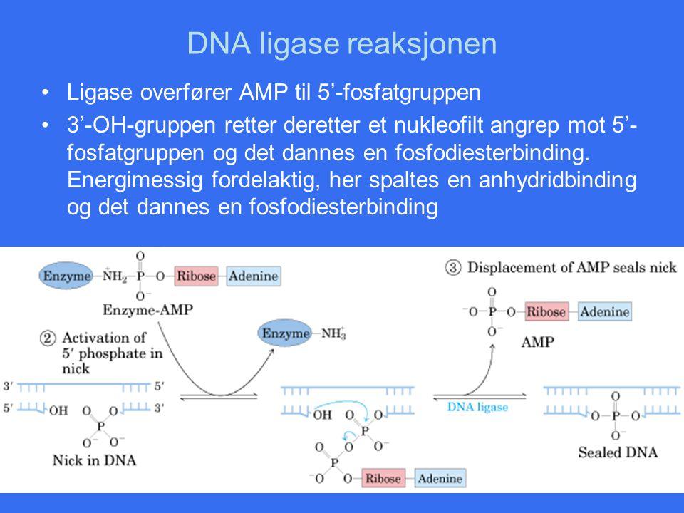 DNA ligase reaksjonen Ligase overfører AMP til 5'-fosfatgruppen