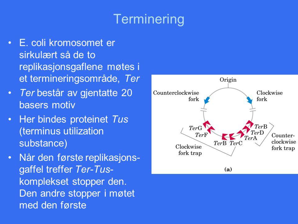 Terminering E. coli kromosomet er sirkulært så de to replikasjonsgaflene møtes i et termineringsområde, Ter.