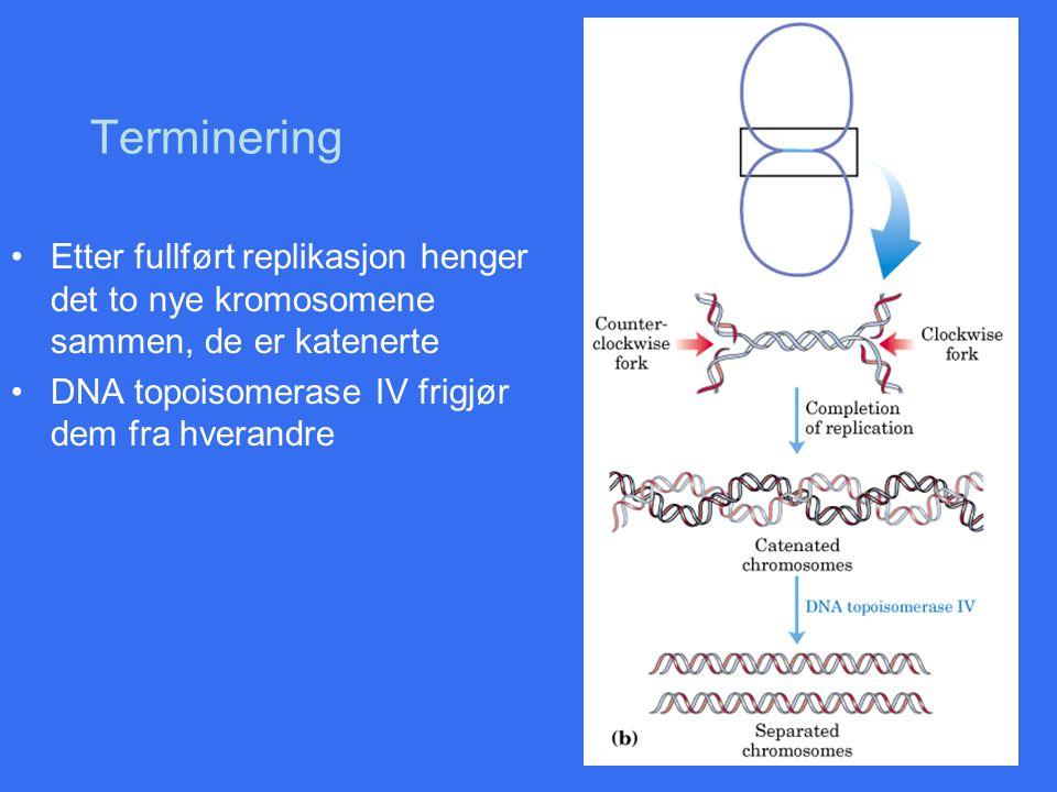 Terminering Etter fullført replikasjon henger det to nye kromosomene sammen, de er katenerte.