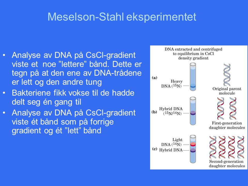 Meselson-Stahl eksperimentet