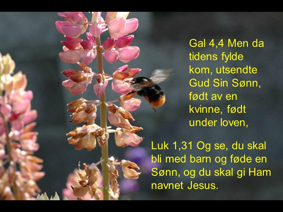 Gal 4,4 Men da tidens fylde kom, utsendte Gud Sin Sønn, født av en kvinne, født under loven,