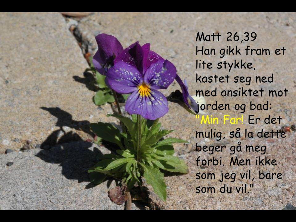 Matt 26,39 Han gikk fram et lite stykke, kastet seg ned med ansiktet mot jorden og bad: Min Far.