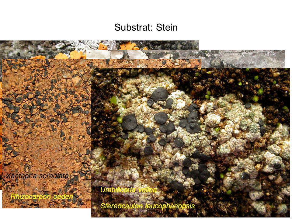 Substrat: Stein Xanthoria sorediata Umbilicaria vellea