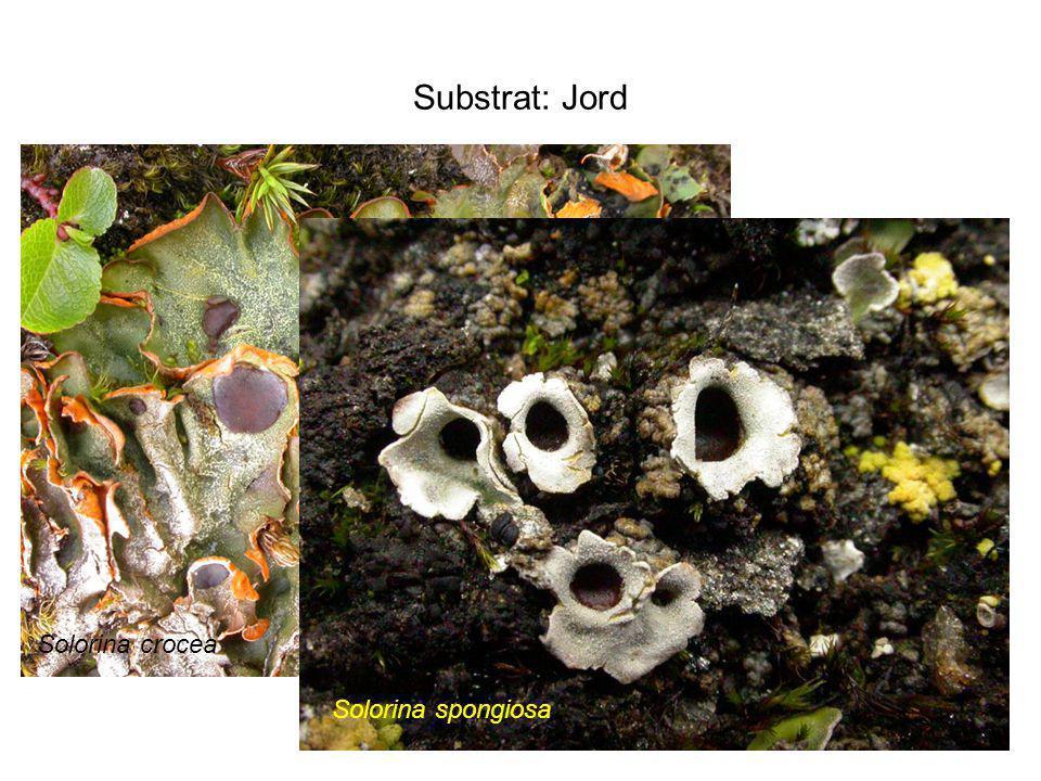 Substrat: Jord Solorina crocea Solorina spongiosa