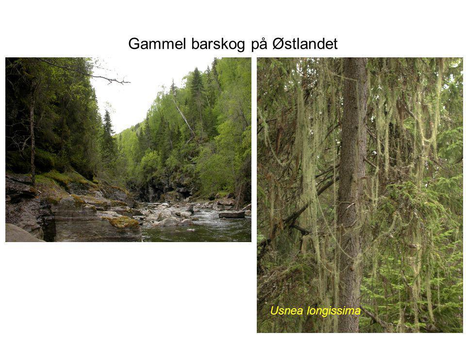 Gammel barskog på Østlandet