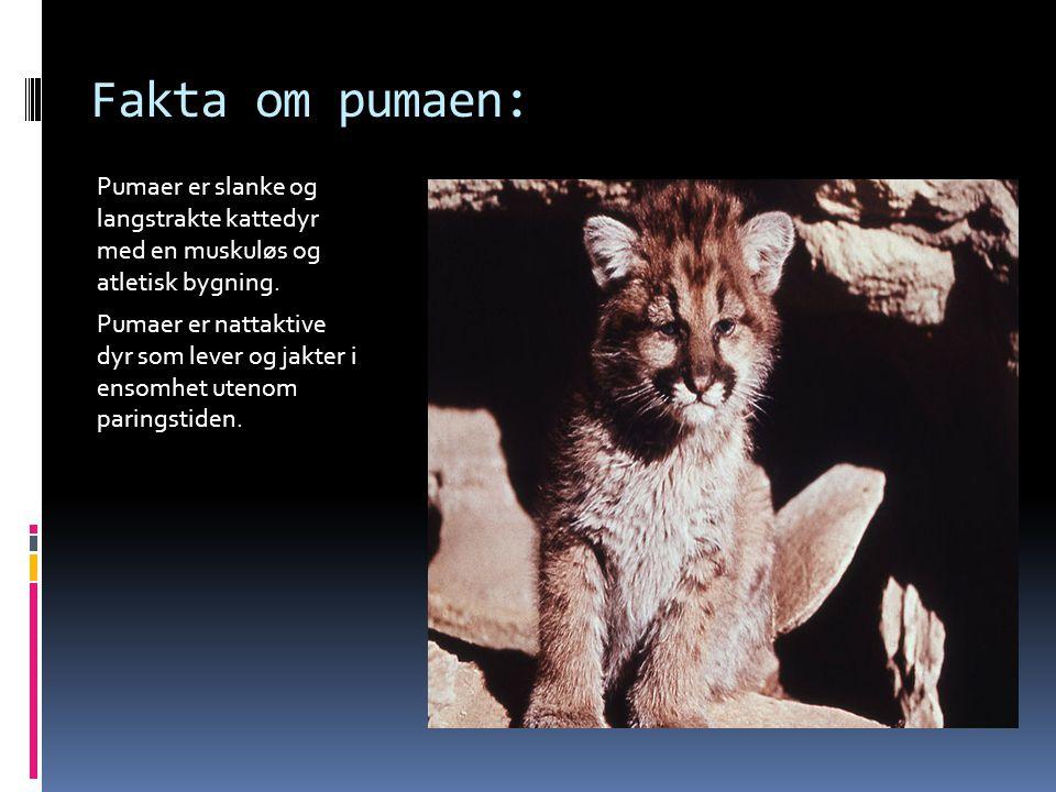 Fakta om pumaen: Pumaer er slanke og langstrakte kattedyr med en muskuløs og atletisk bygning.