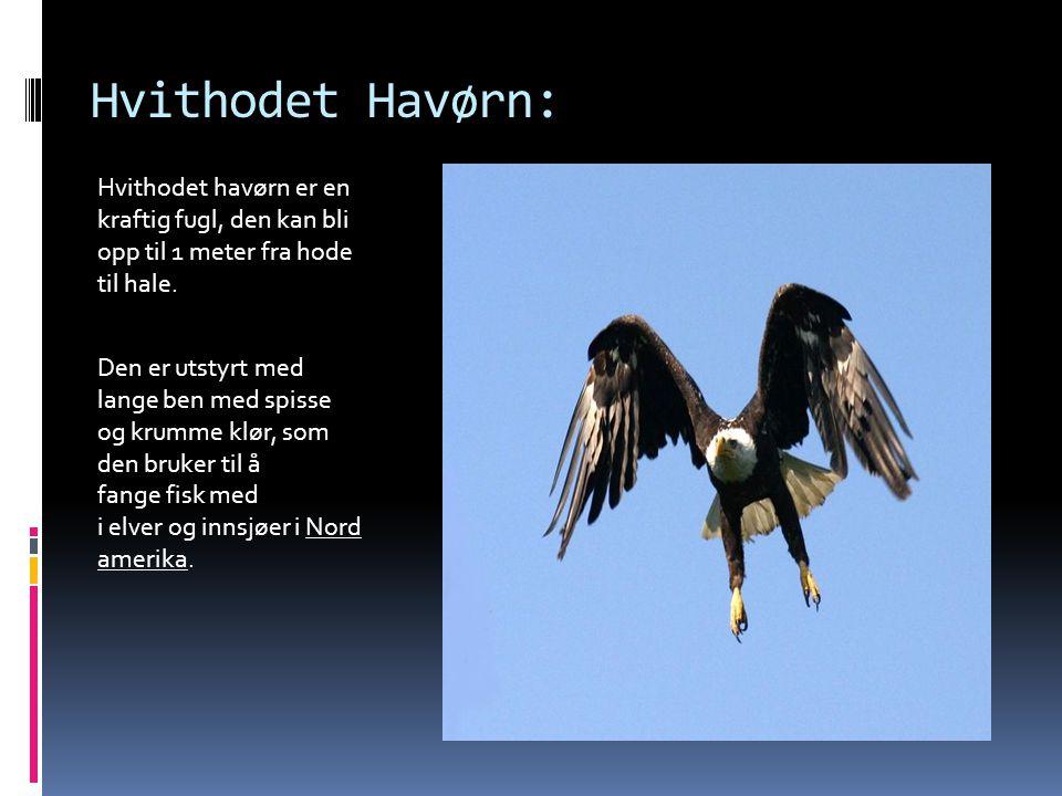 Hvithodet Havørn: Hvithodet havørn er en kraftig fugl, den kan bli opp til 1 meter fra hode til hale.