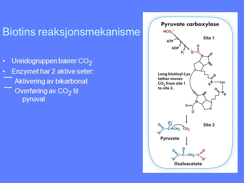 Biotins reaksjonsmekanisme
