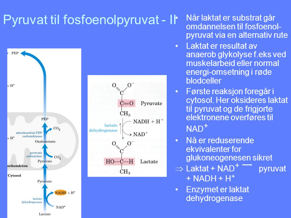 Pyruvat til fosfoenolpyruvat - II