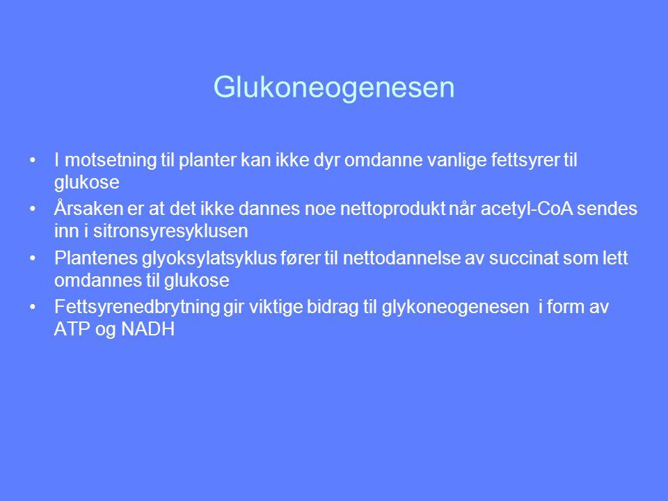 Glukoneogenesen I motsetning til planter kan ikke dyr omdanne vanlige fettsyrer til glukose.