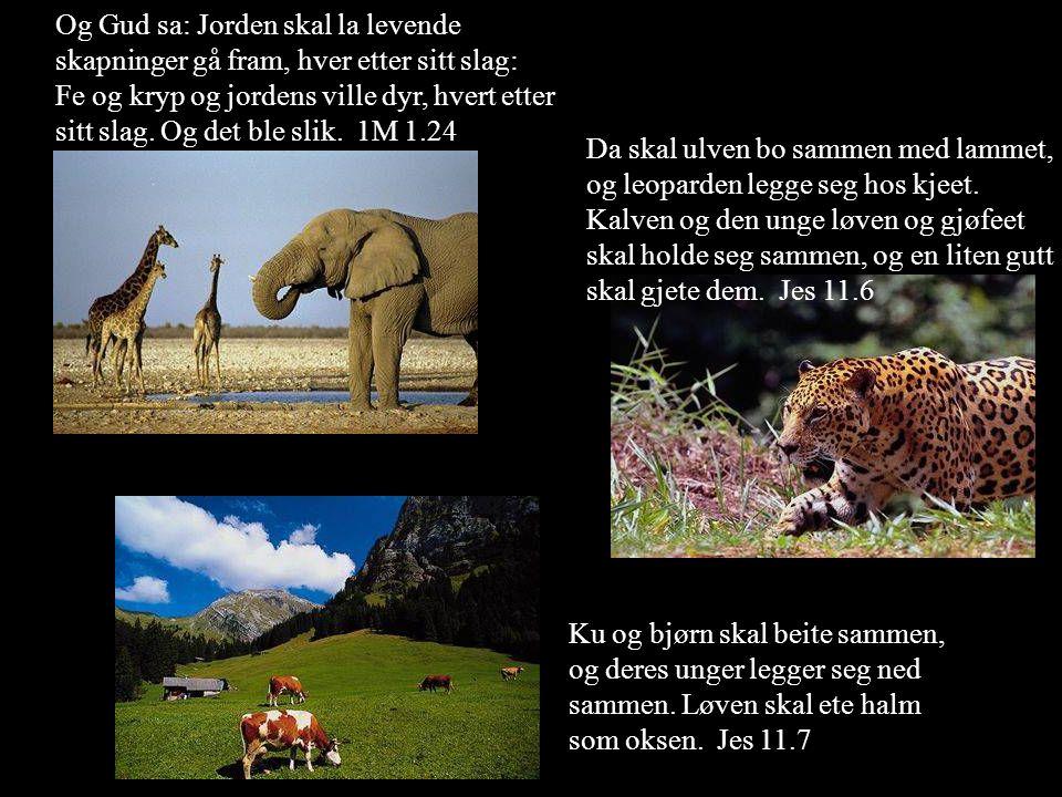 Og Gud sa: Jorden skal la levende skapninger gå fram, hver etter sitt slag: Fe og kryp og jordens ville dyr, hvert etter sitt slag. Og det ble slik. 1M 1.24