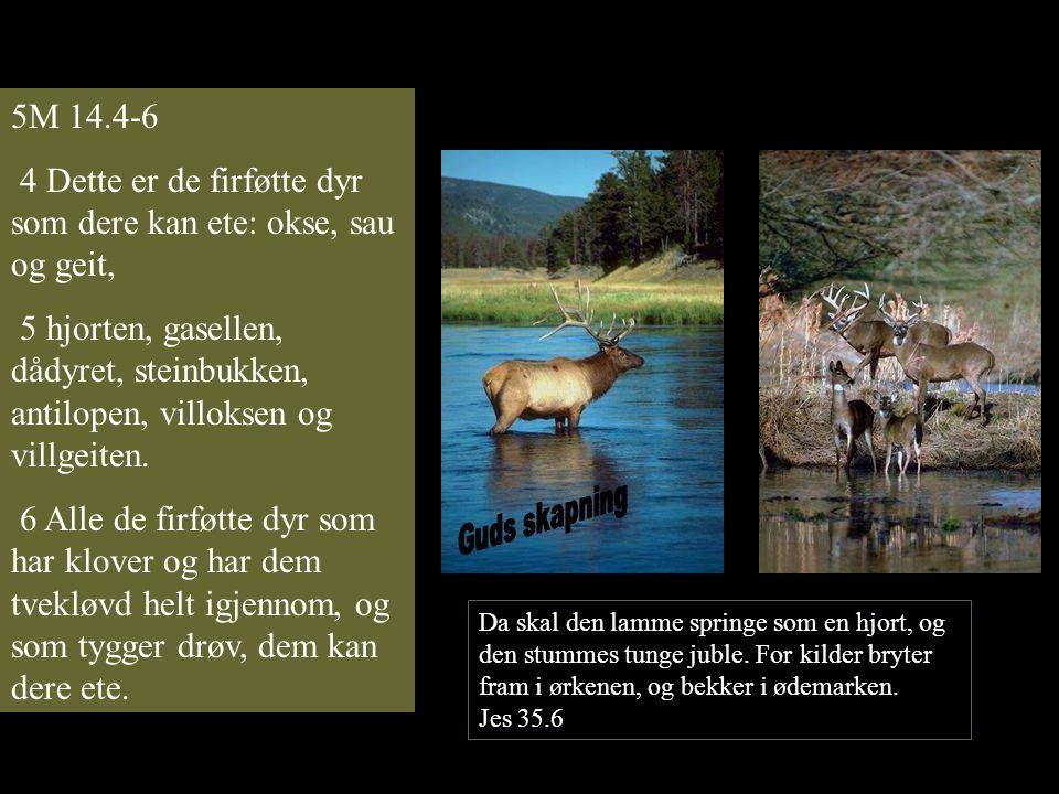 4 Dette er de firføtte dyr som dere kan ete: okse, sau og geit,