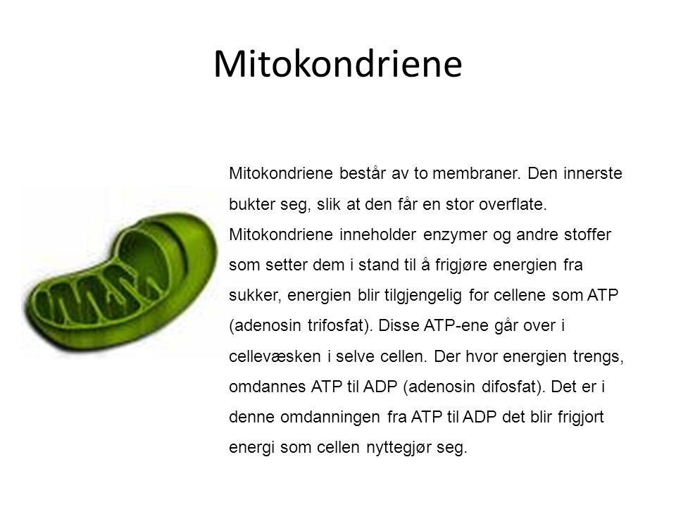 Mitokondriene