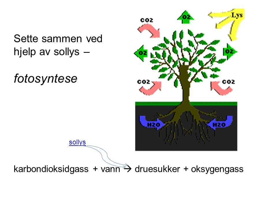 fotosyntese Sette sammen ved hjelp av sollys –