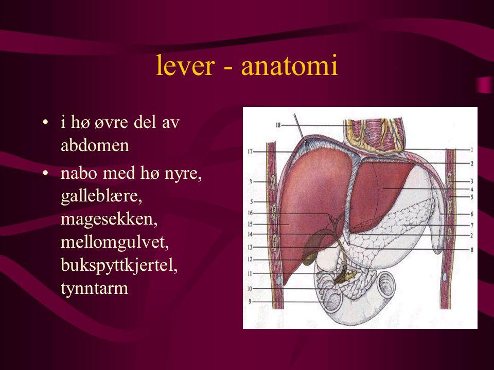 lever - anatomi i hø øvre del av abdomen