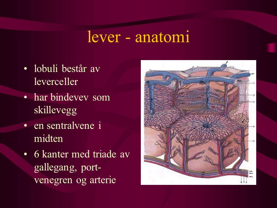 lever - anatomi lobuli består av leverceller