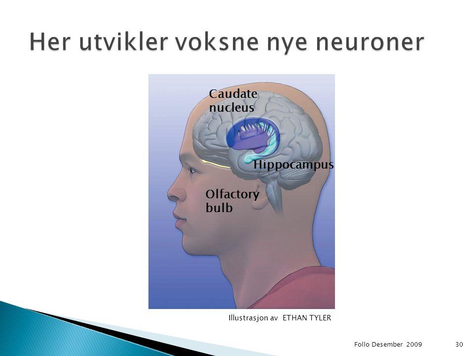 Her utvikler voksne nye neuroner