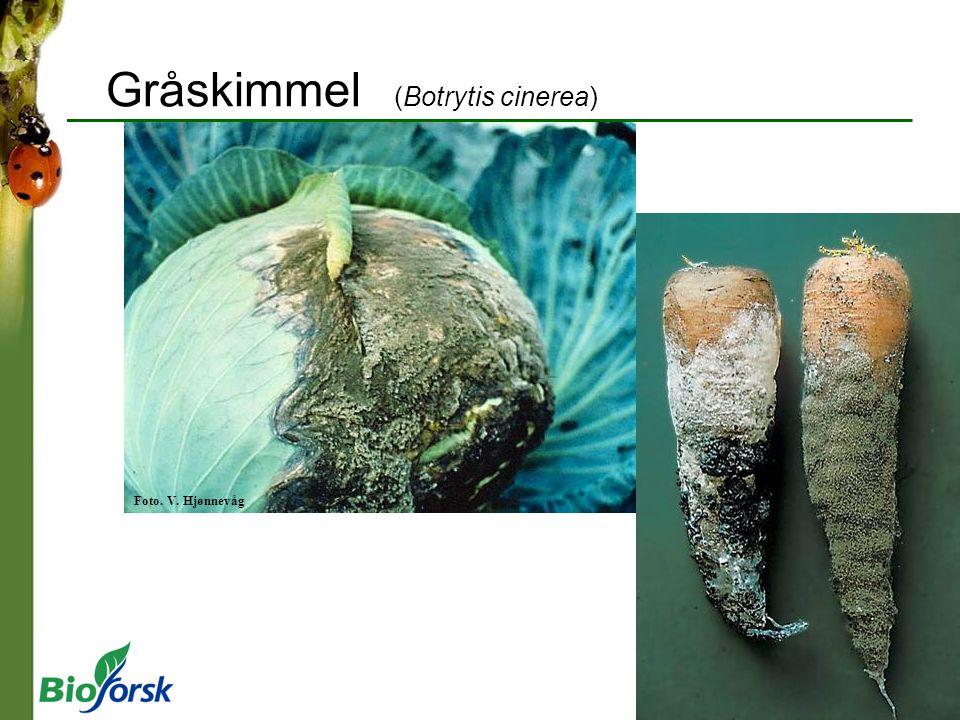 Gråskimmel (Botrytis cinerea)