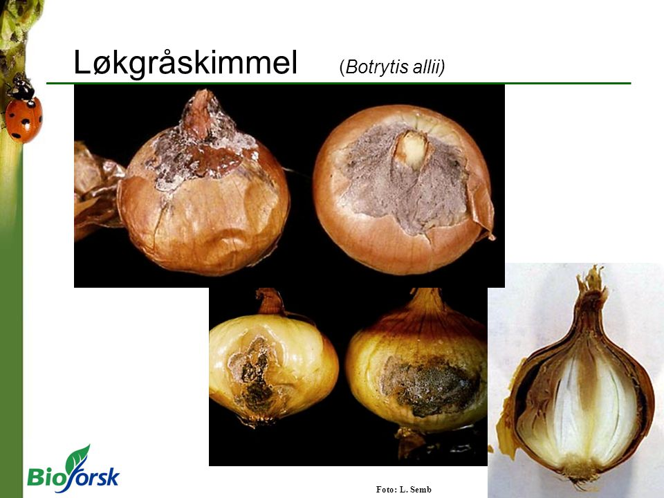 Løkgråskimmel (Botrytis allii)