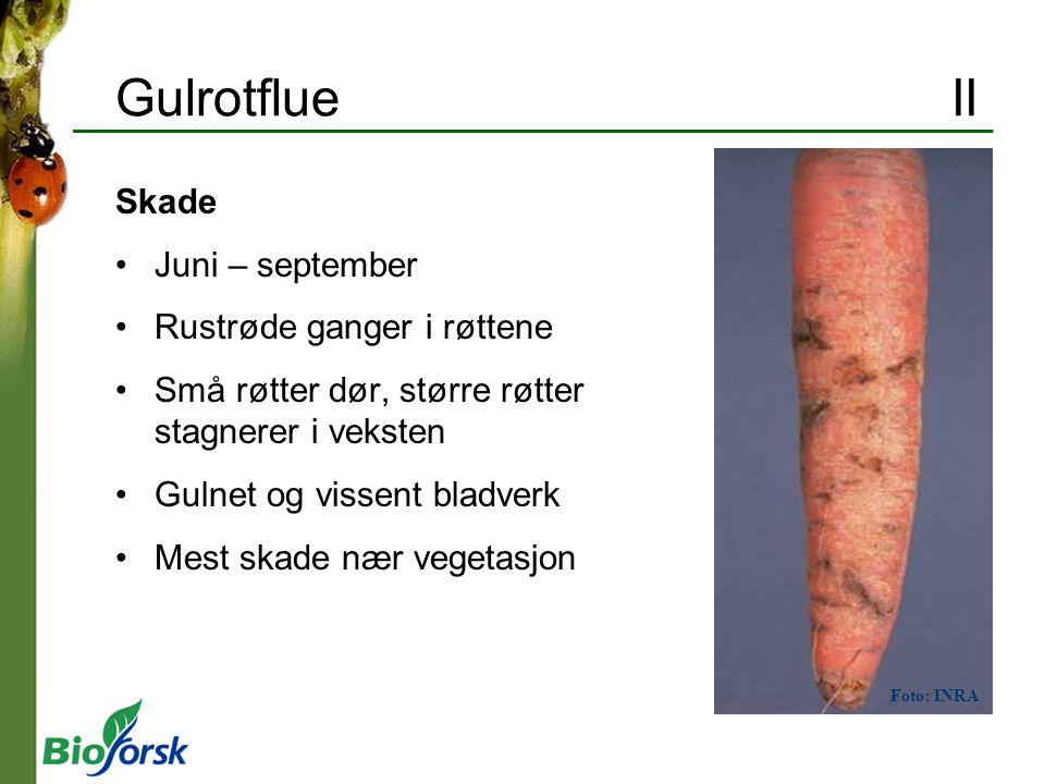Gulrotflue II Skade Juni – september Rustrøde ganger i røttene