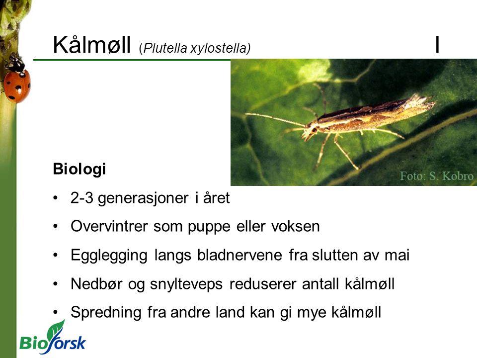 Kålmøll (Plutella xylostella) I