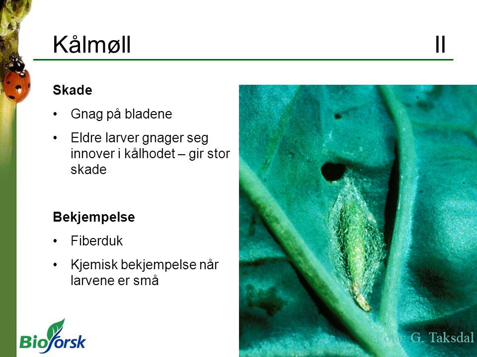 Kålmøll II Skade Gnag på bladene