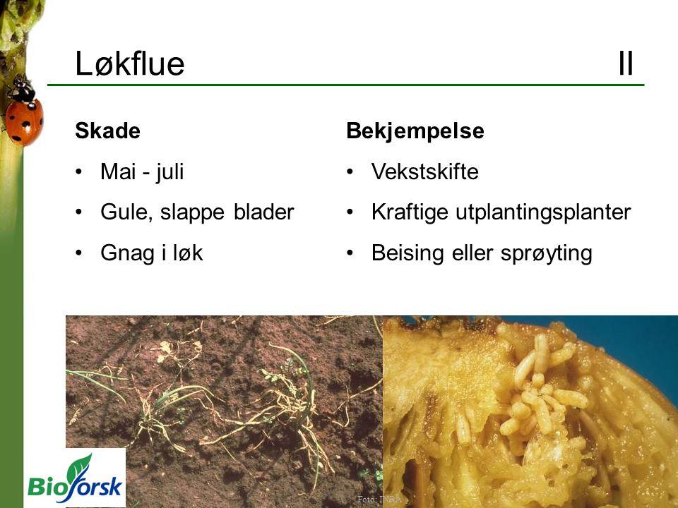Løkflue II Skade Mai - juli Gule, slappe blader Gnag i løk Bekjempelse