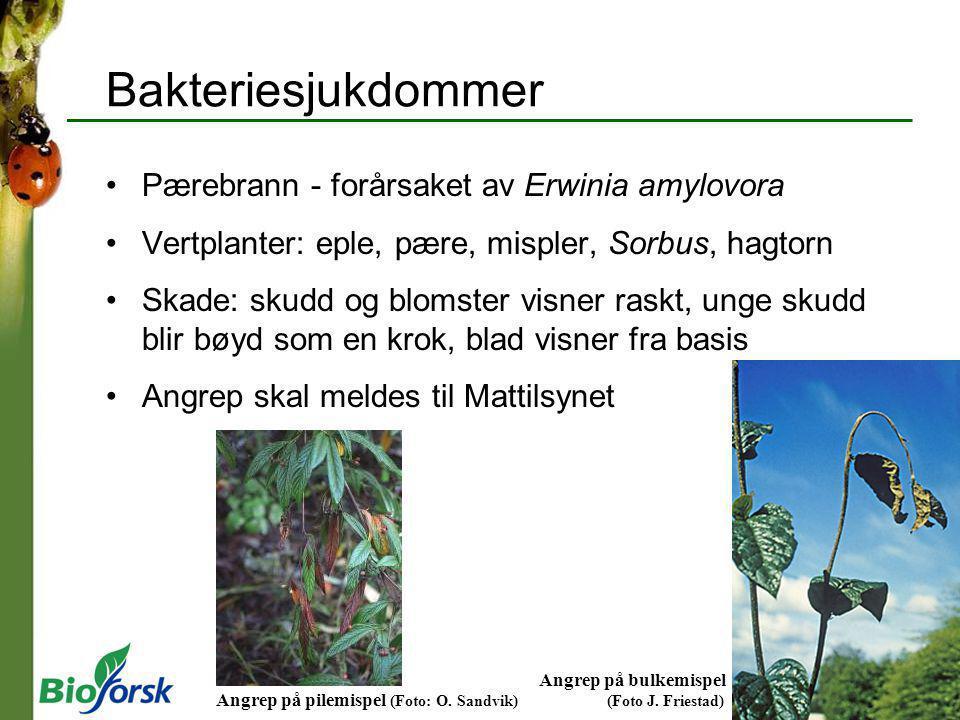 Bakteriesjukdommer Pærebrann - forårsaket av Erwinia amylovora