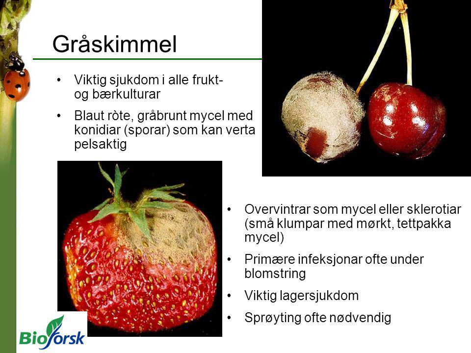 Gråskimmel Viktig sjukdom i alle frukt- og bærkulturar