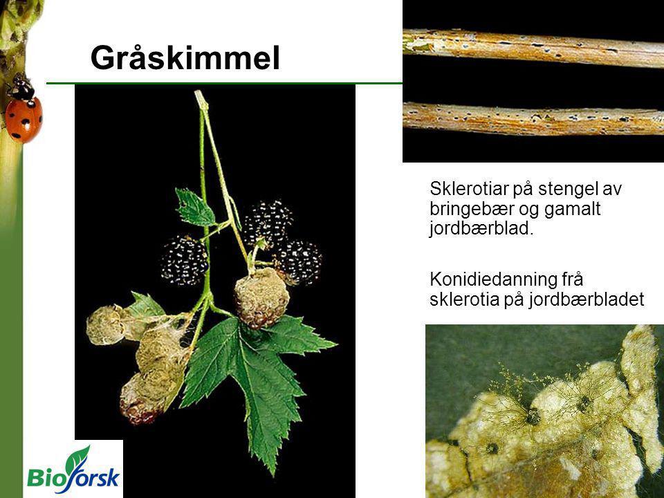 Gråskimmel Sklerotiar på stengel av bringebær og gamalt jordbærblad.