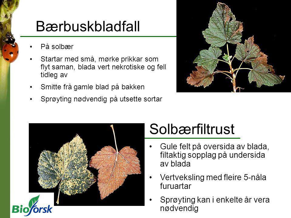 Bærbuskbladfall Solbærfiltrust
