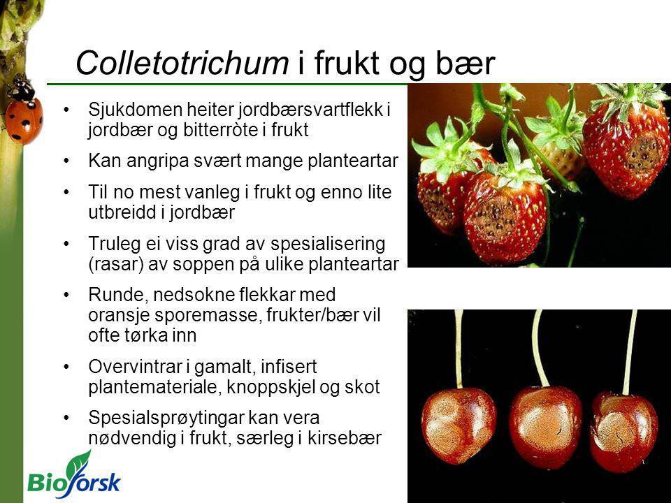Colletotrichum i frukt og bær