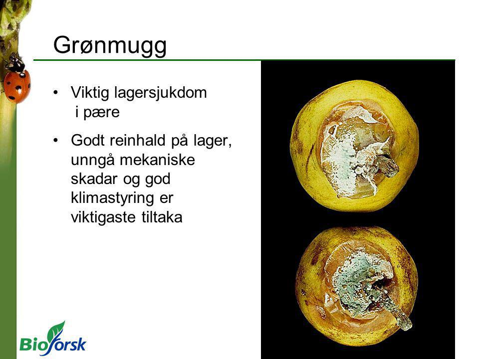 Grønmugg Viktig lagersjukdom i pære