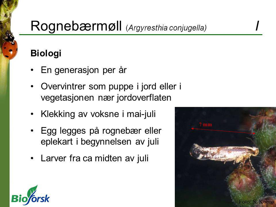 Rognebærmøll (Argyresthia conjugella) I