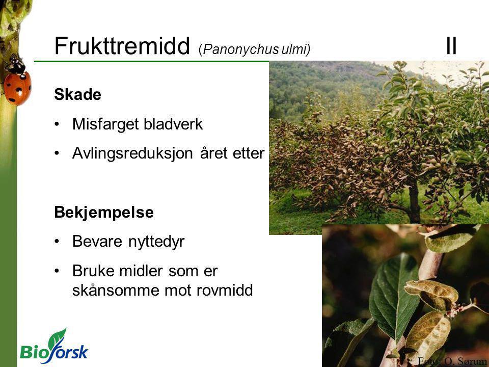 Frukttremidd (Panonychus ulmi) II
