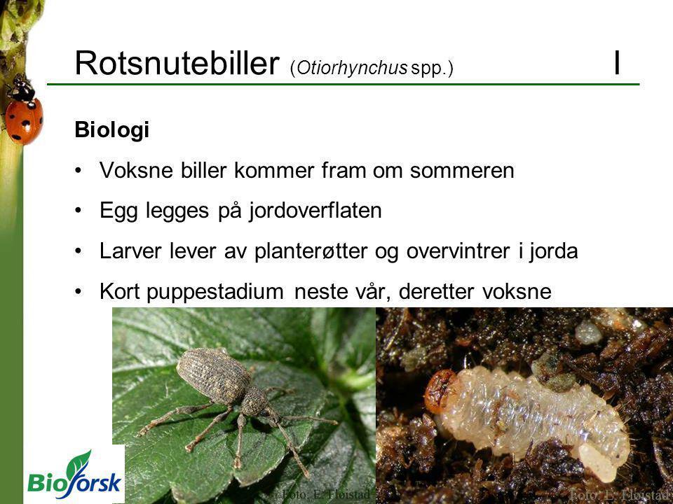 Rotsnutebiller (Otiorhynchus spp.) I