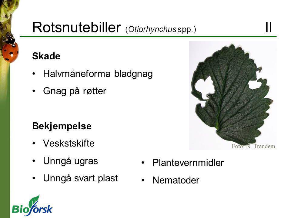 Rotsnutebiller (Otiorhynchus spp.) II