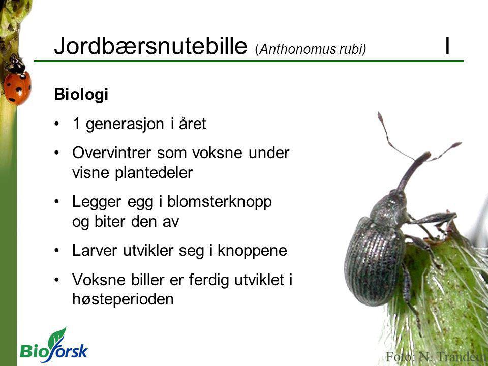 Jordbærsnutebille (Anthonomus rubi) I