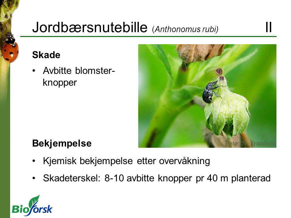 Jordbærsnutebille (Anthonomus rubi) II