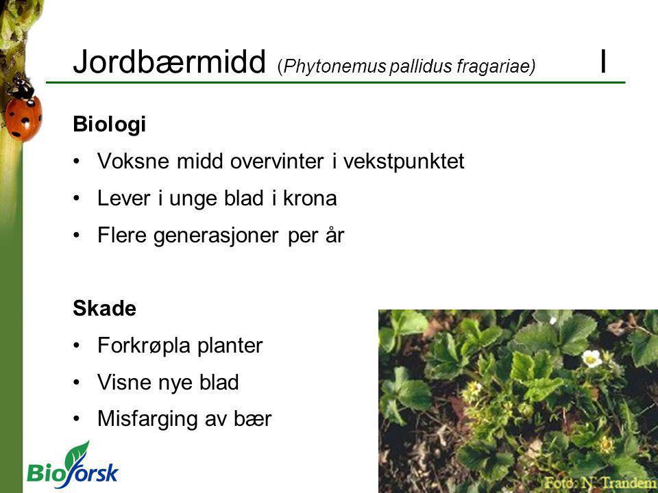 Jordbærmidd (Phytonemus pallidus fragariae) I