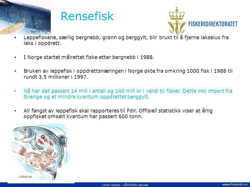 Rensefisk Sabima.no. Leppefiskene, særlig bergnebb, grønn og berggylt, blir brukt til å fjerne lakselus fra laks i oppdrett.