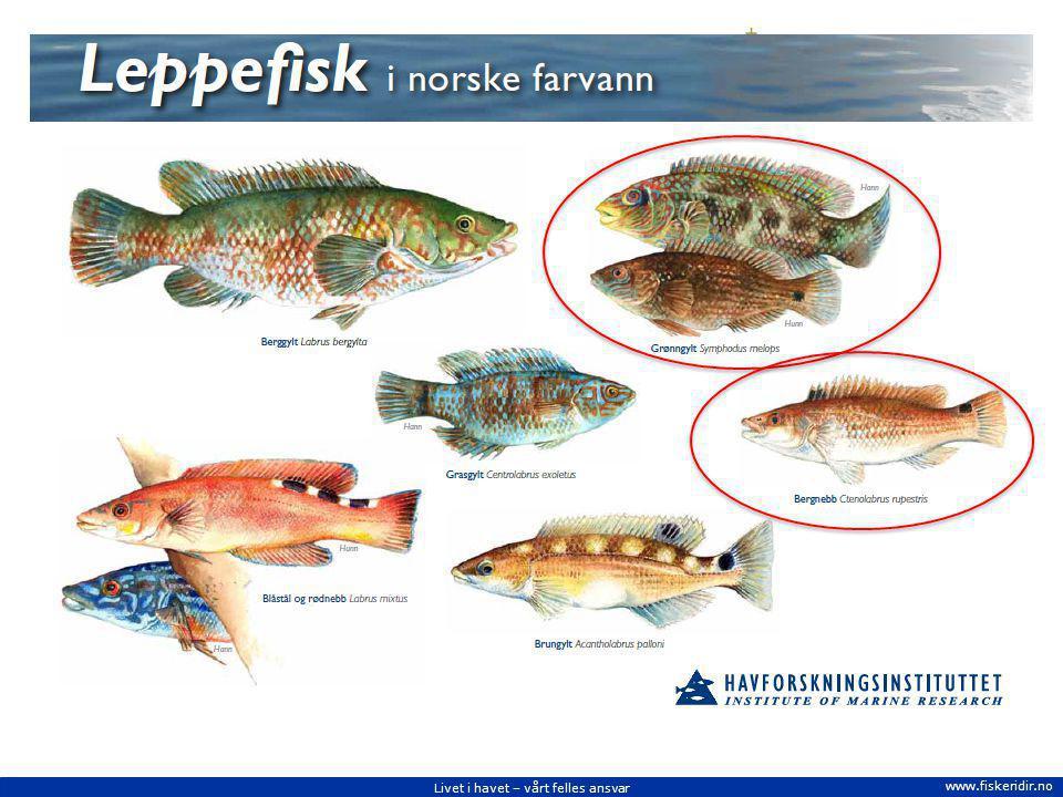I norske farvann er det seks arter av leppefisk