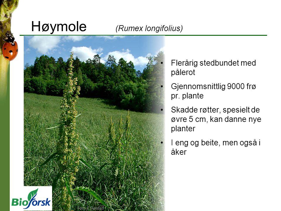 Høymole (Rumex longifolius)