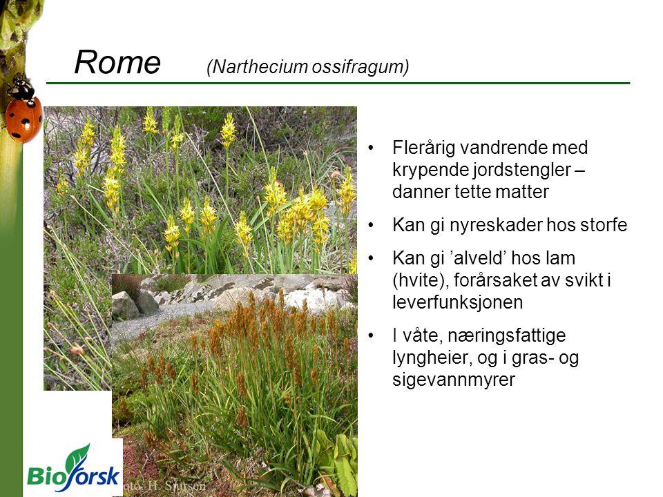 Rome (Narthecium ossifragum)