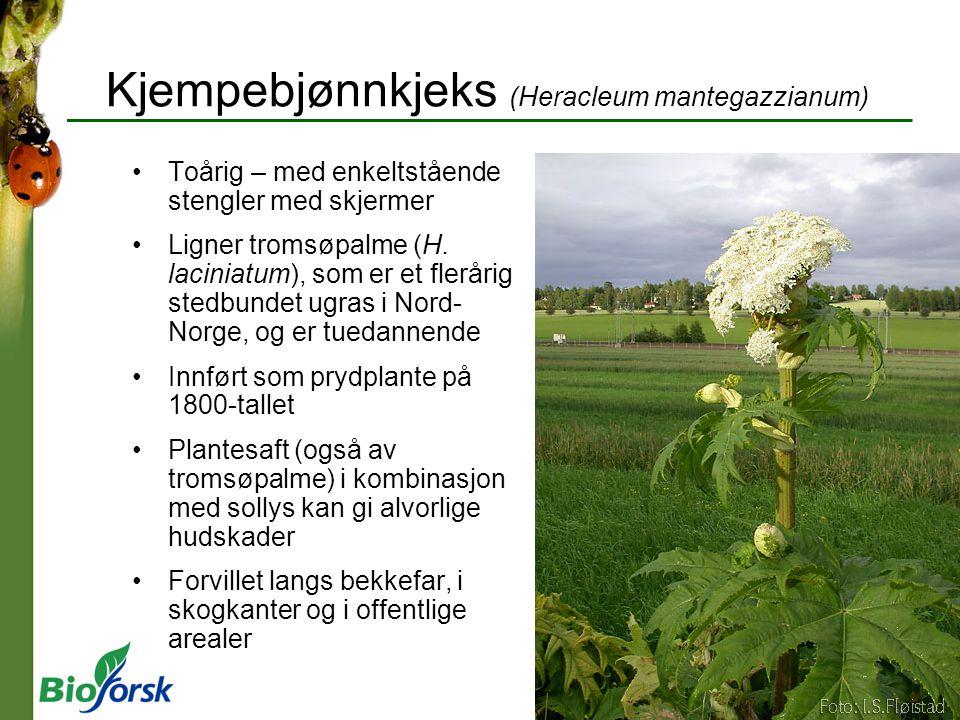 Kjempebjønnkjeks (Heracleum mantegazzianum)
