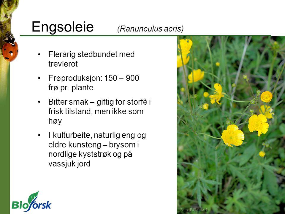 Engsoleie (Ranunculus acris)
