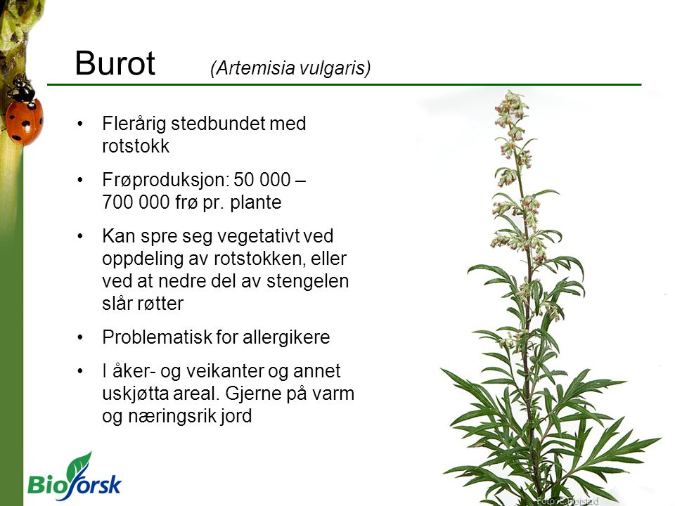 Burot (Artemisia vulgaris)