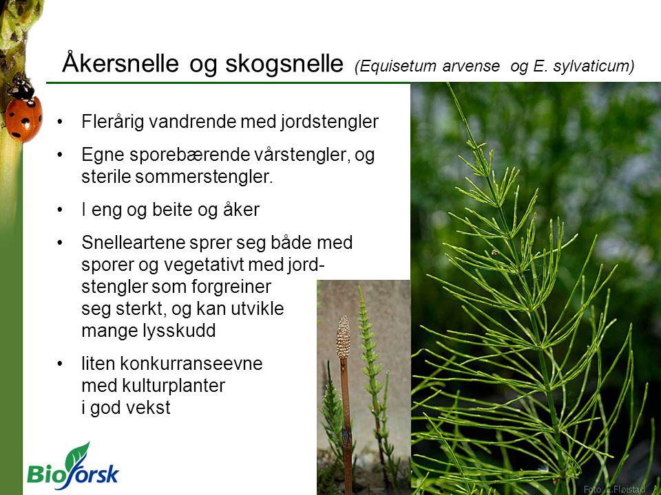 Åkersnelle og skogsnelle (Equisetum arvense og E. sylvaticum)