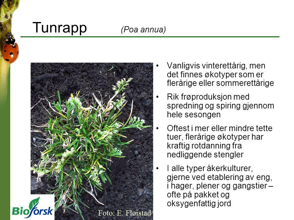 Tunrapp (Poa annua) Vanligvis vinterettårig, men det finnes økotyper som er flerårige eller sommerettårige.