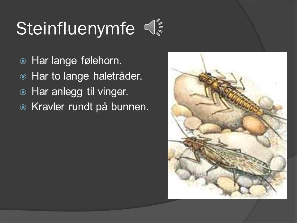 Steinfluenymfe Har lange følehorn. Har to lange haletråder.